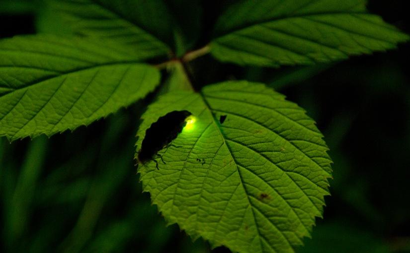 Das Glühwürmchen ist das Tier des Jahres2019